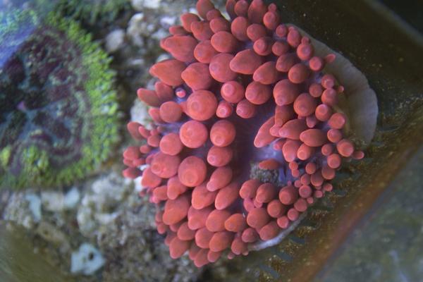 red-bubble-anemone4EF1BB53-61F5-AC8E-3F4D-D83139A83CDF.jpg