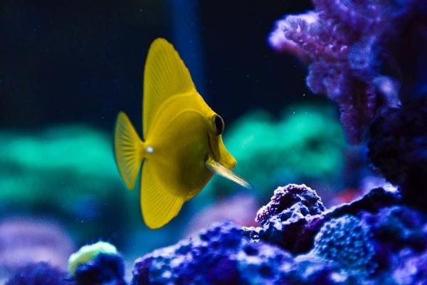 yellow-tangDA78CDD8-77B2-A0CB-0076-3096B29921F2.jpg
